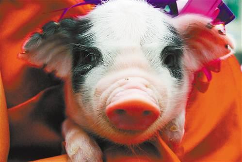 为什么荣昌猪如此有名