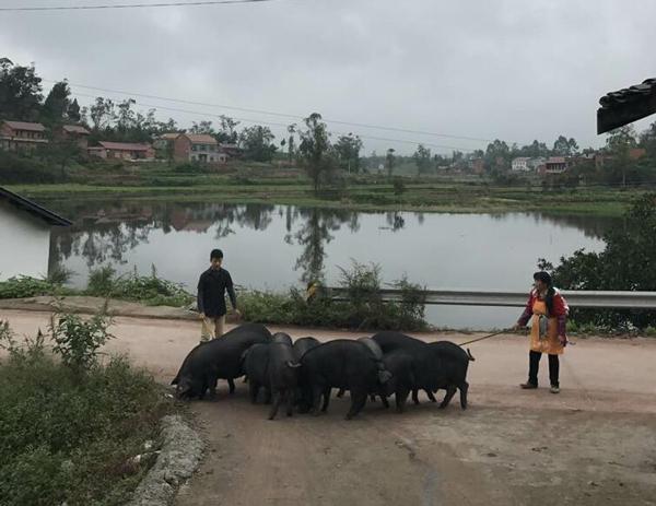 小古专栏:什么样的猪肉才称为土猪肉