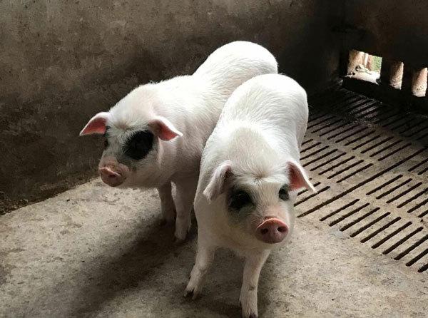 """重庆荣昌猪""""飞""""起来了,古昌土猪肉品质保障"""