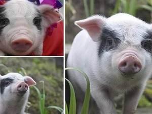 荣昌猪的飞速发展,你还在担心吃不上土猪肉吗