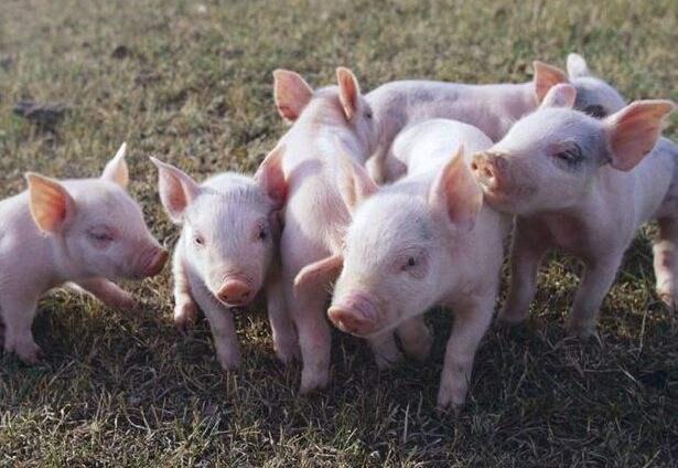 四个方法教你养好猪,不生病