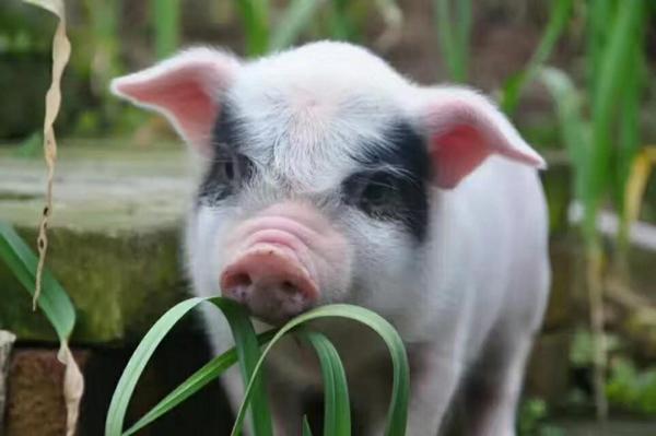荣昌猪的养殖方法:荣昌猪怎么养?