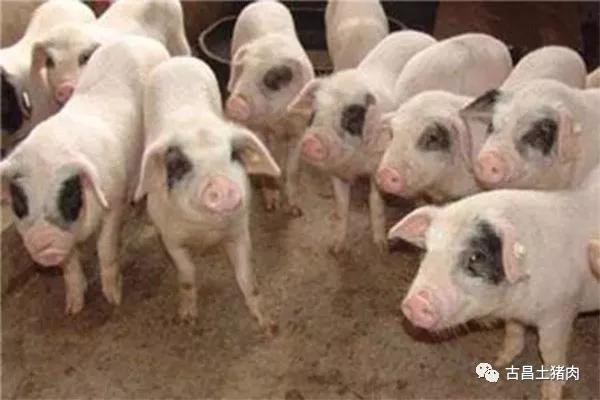 """走进古昌丨 专访""""古昌土猪肉""""创始人谭其军----就算卖猪肉,也要有尊严!"""