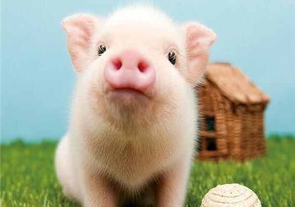 荣昌猪及猪的50个趣味知识点