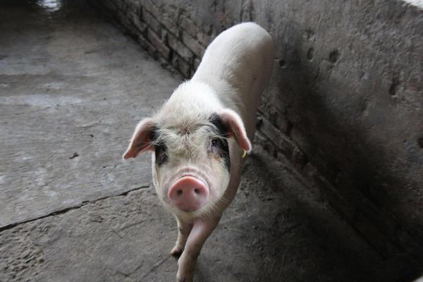 什么是土猪肉,消费者如何购买土猪肉?附七个知识点应知晓!