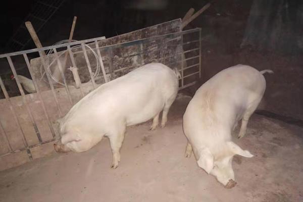 养足8个月的以上土猪肉是什么味道?