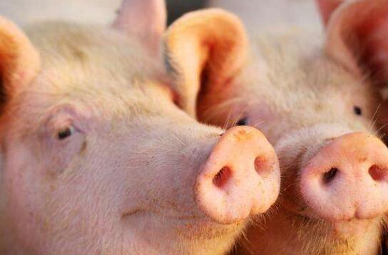 受疫情影响猪肉价格涨 国常会:取消生猪禁养限制