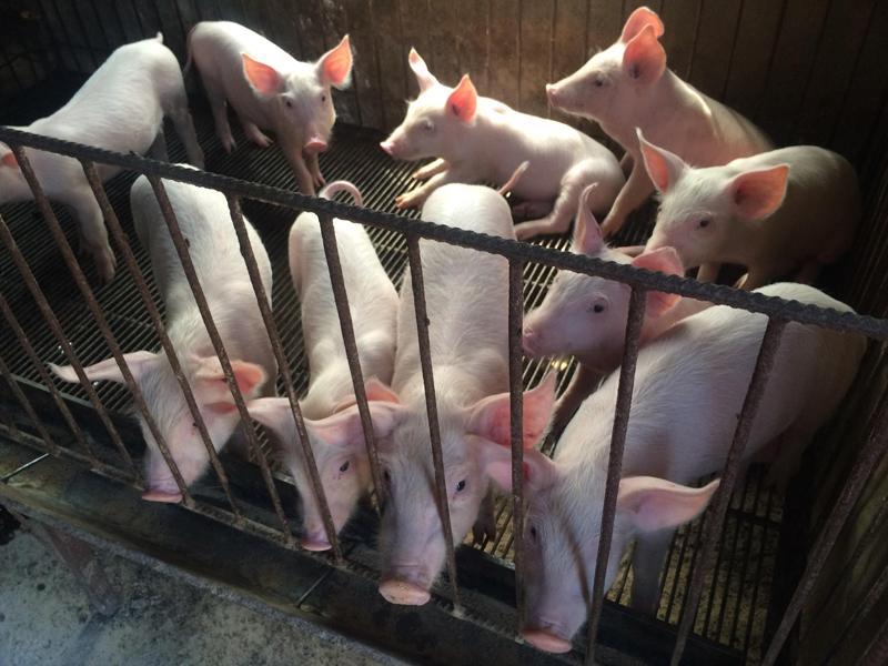 袁龙江表示:我国生猪产能或于2022年恢复正常水平