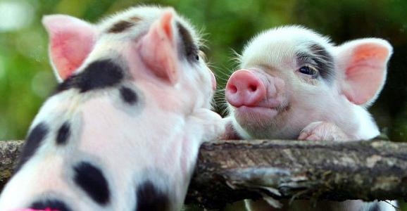 《荣昌猪保种利用存在的问题与对策》--《猪业科学》2006年06期