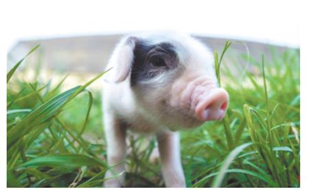 土猪肉营销策划方案,从经营到销售,教你做?