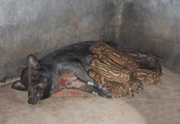 非洲猪瘟的持续蔓延,众多散户难以生存,2019年养猪业格局或将发生巨变