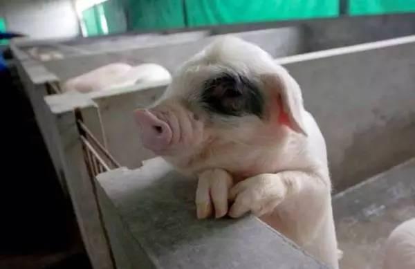 东北民猪、太湖猪、荣昌猪、内江猪—我国地方品种猪介绍