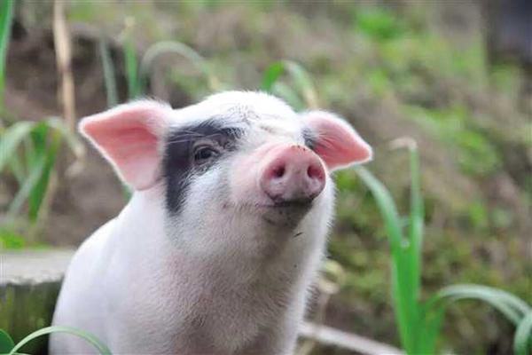 """当""""荣昌猪""""遇上大数据:卖猪不见猪"""